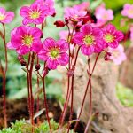 Камнеломка Арендса Carpet Purple (Saxifraga arendsi Carpet Purple)