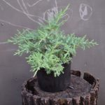 Можжевельник средний Old gold (Juniperus pfitzeriana Old Gold)