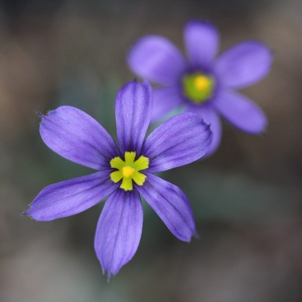 Сюсиринхиум узколистный (Sisyrinchium angustifolium)