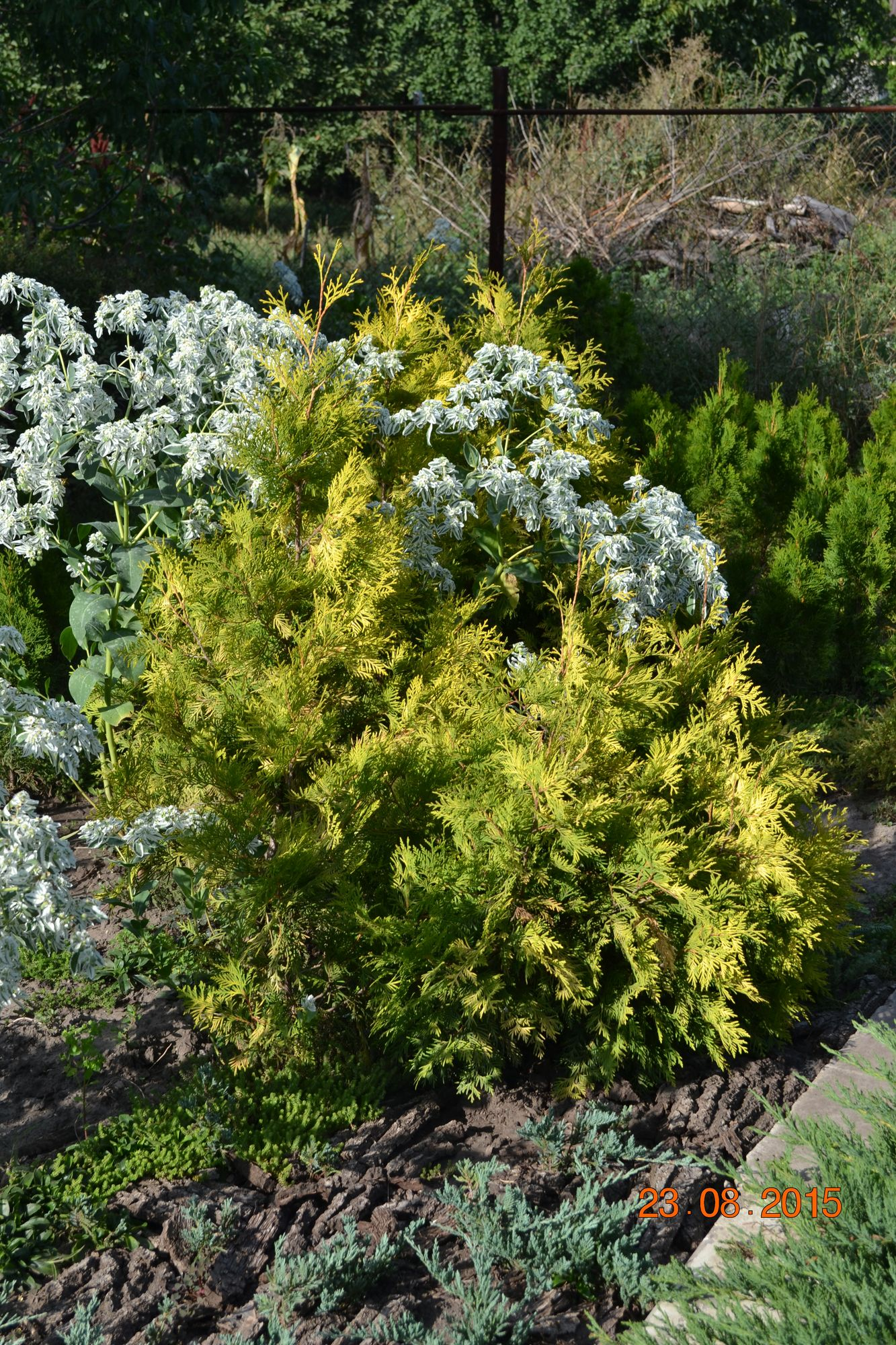 Туя западная Yellow Ribbon (Thuja occidentalis Yellow Ribbon)