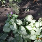 Яснотка крапчатая Beacon Silver (Lamium maculatum Beacon Silver)