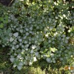 Яснотка крапчатая White Nancy (Lamium maculatum White Nancy)