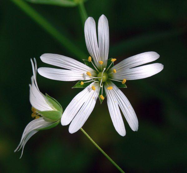 Звездчатка ланцетовидная (Stellaria holostea)