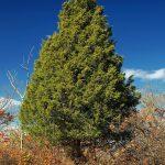 Можжевельник виргинский (Juniperus virginiana)2