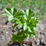 Виноград девичий триострённый Вичи (Parthenocissus tricuspidata Veitchii)