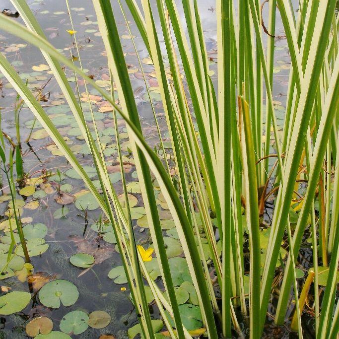 Аир болотный (злаковидный) Variegata (Acorus gramineus Variegata)