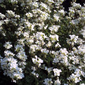 Арабис кавказский (Arabis caucasica)