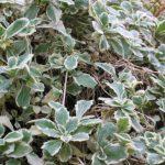 Арабис кавказский пестрый (Arabis caucasica variegata)