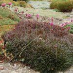 Армерия приморская Rubrifolia (Armeria maritima Rubrifolia)