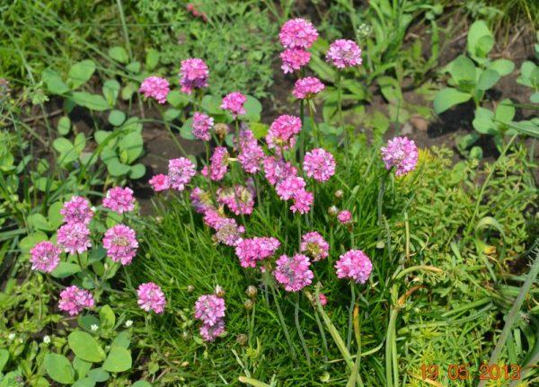 Армерия приморская розовая (Armeria maritima rosea)