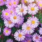 Астра новоанглийская (розовая, белая) (Aster novae-angliae)
