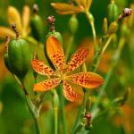 Беламканда китайская (Iris domestica)Объем вазона: 1 л