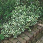 Бересклет Форчуна Emerald Gaiety (Euonymus fortunei Emerald Gaiety)