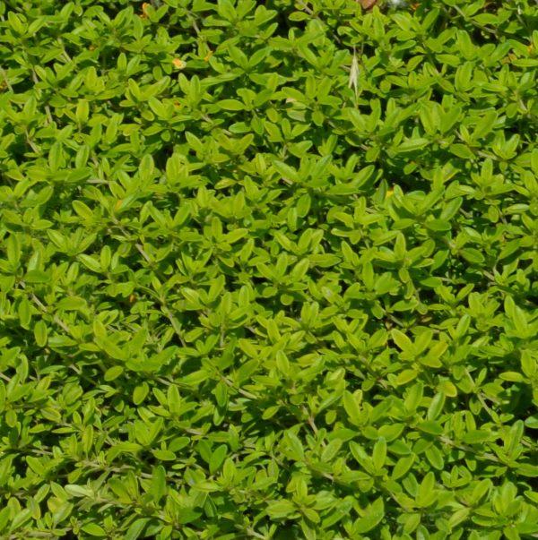 Чабрец лимоннопахнущий (Thymus citriodorus)