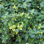 Чабрец лимонный Замбези (Thymus citriodorus Sambesi)