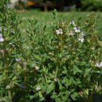 Чабрец обыкновенный Фредо (Thymus vulgaris Fredo)
