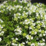 Чабрец обыкновенный белый (Thymus vulgaris Alba)