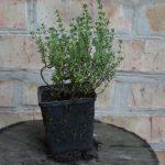 Чабрец обыкновенный компакта (Thymus vulgaris Compactus)