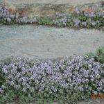 Чабрец ползучий (Thymus serpyllum)