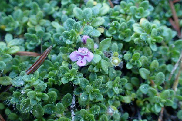 Чабрец ранний Пигмей (Thymus praecox Pygmaeus)