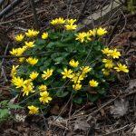 Чистяк весенний (Ficaria verna)