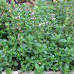 Дубровник обыкновенный (Teucrium chamaedrys)