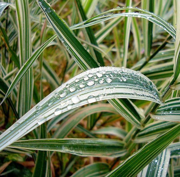 Двукисточник тростниковый пестролистный, «шелковая трава» (Phalaroides arundinacea)
