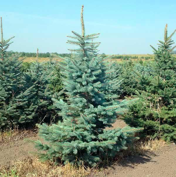 Ель колючая голубая Кэйбаб (Picea pungens Glauca Kaibab)2