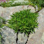 Энотера миссурийская (Oenothera missouriensis)