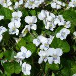 Фиалка мотыльковая белая (Viola sororia Albiflora)