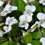 Фиалка мотыльковая бело-голубая (Viola sororia Priceana)
