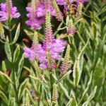 Физостегия виргинская Variegata (Physostegia virginiana Variegata)