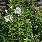 Флокс метельчатый (Phlox paniculata) 2