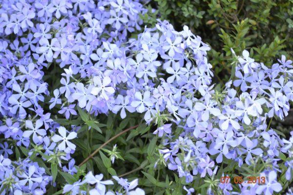 Флокс растопыренный голубой (Phox divaricata)