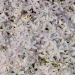 Флокс шиловидный белый (Phlox subulata)