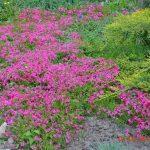 Флокс шиловидный красный Scarlet Flame (Phlox subulata Scarlet Flame)