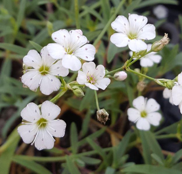 Гипсофила ползучая (Gypsophila repens)