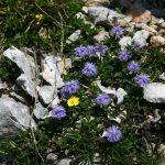 Глобулярия сердцелистная (Globularia cordifolia)