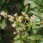 Горец бальджуанский (Fallopia baldschuanica)