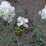 Гвоздика перистая махровая (розовая, белая) (Dianthus plumarius)