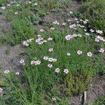 Гвоздика травянка Arctic Fire (Dianthus deltoides Arctic Fire)