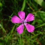 Гвоздика травянка (Dianthus deltoides)