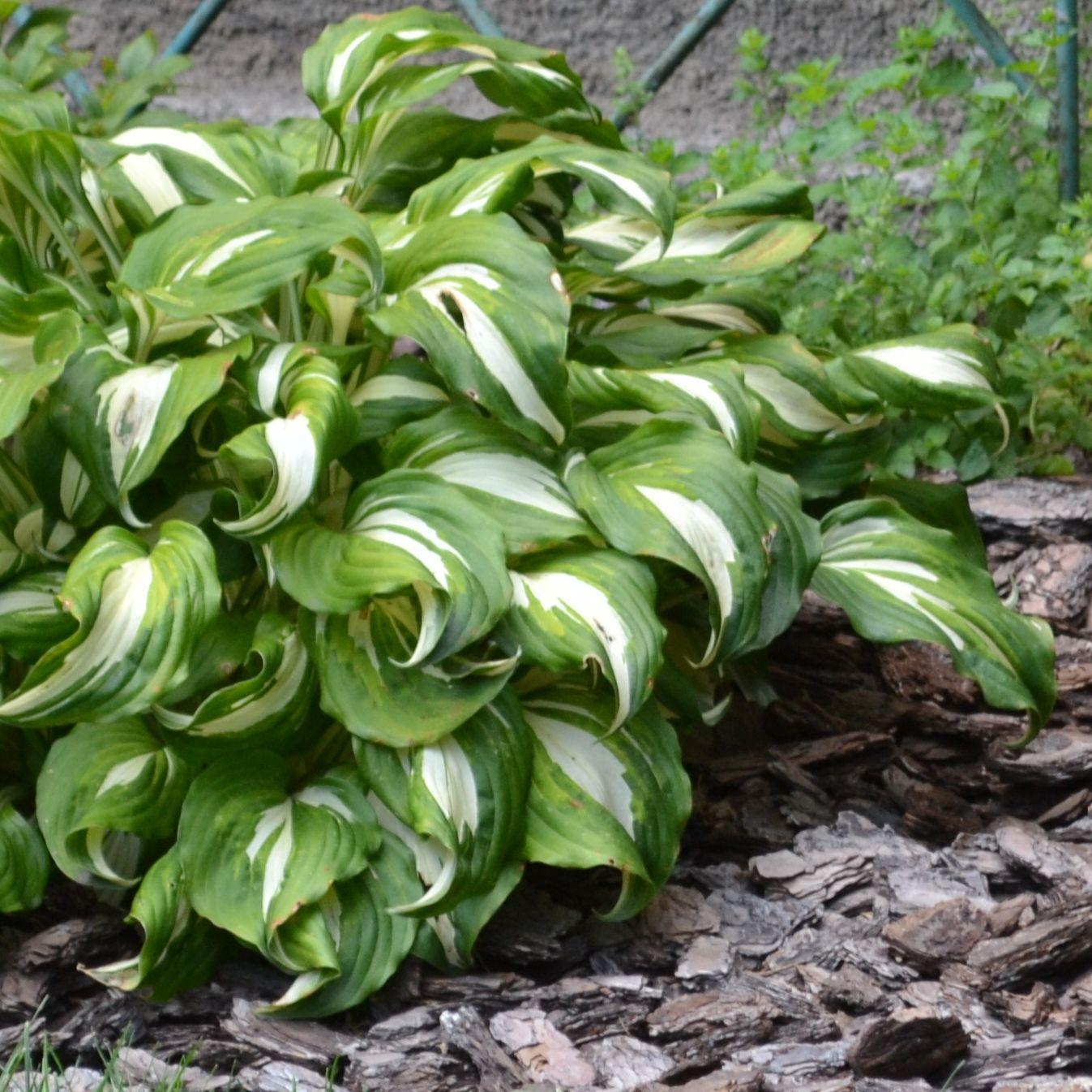 Хоста волнистая Медиовариегата (Hosta undulata mediovariegata)