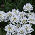 Иберис вечнозеленый (Iberis sempervirens) 2