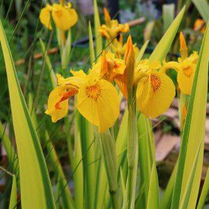 Ирис аировидный Variegata (Iris pseudacorus Variegata)