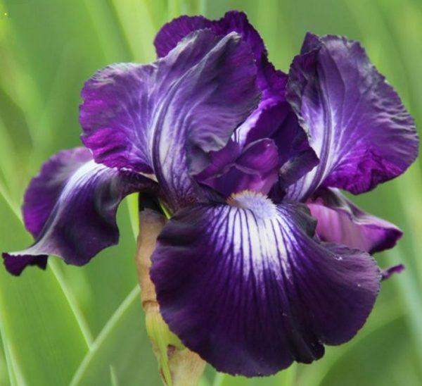 Ирис бородатый Exotic Star (Iris hybrida Exotic Star),