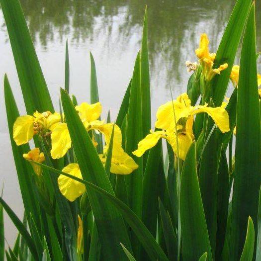 Ирис ложноаировый (Iris pseudocorus),