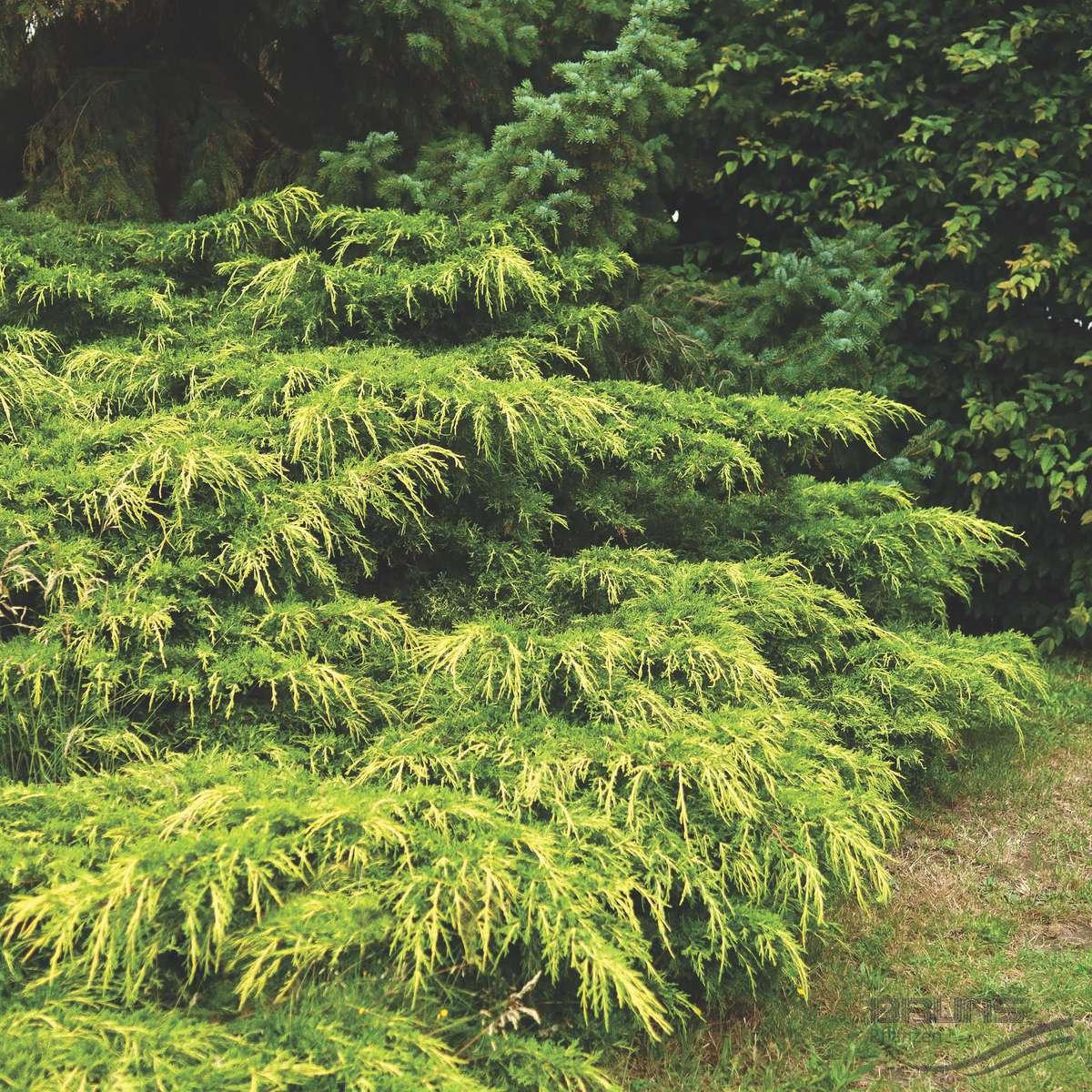 Juniperus media Pfitzeriana Aurea
