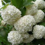 Калина обыкновенная Розеум (Бульденеж, Снежный шар) (Viburnum opulus roseum)