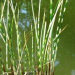 Камыш озёрный полосатый Зебринус (Scirpus tabernaemontani Zebrinus)